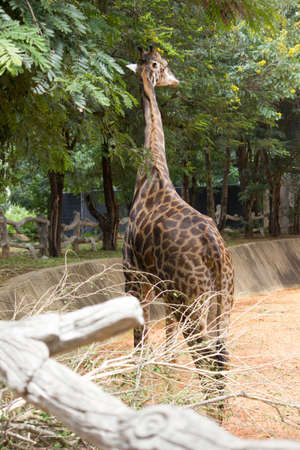 plant stand: giraffe,  wildlife,  safari,  nature,  african,  africa,  neck Stock Photo