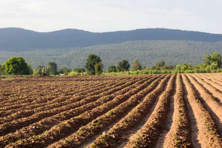 sugarcane, agriculture, sugar, cane, green, field, plant, harvest, farming