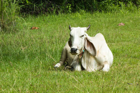 farm,  animal,  cattle,  agriculture,  dairy,  livestock,  grass,  meadow,  field,  milk,  pasture,  white
