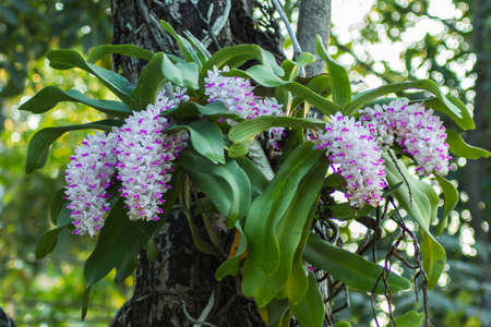 Chang Kra orchid Thailand on the mango tree.
