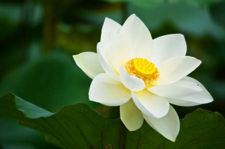White lotus in thailand photo