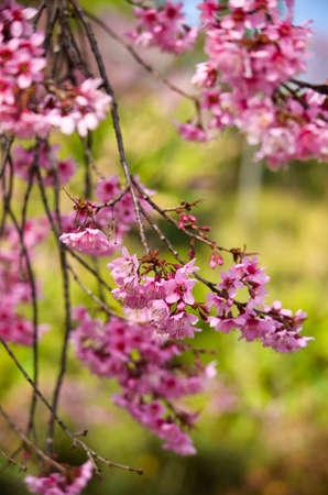 sakura in thailand photo