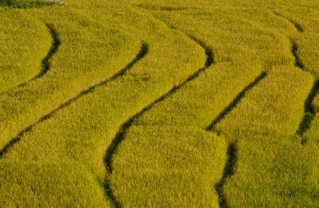 Golden rice field photo