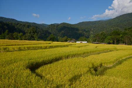 Golden rice photo