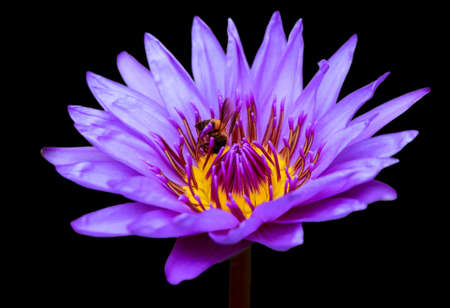 Violet blue waterliy with bee, lotus flower Isolated on black background. Stock Photo
