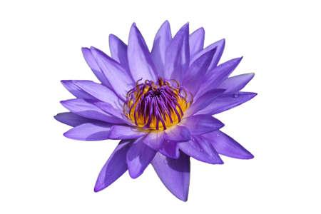 closeup blooming ultraviolet waterlilies Stock Photo