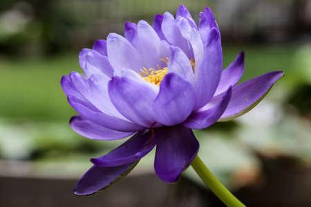 Closeup blooming blue Australian Giant waterlily or lotus flower Stock Photo