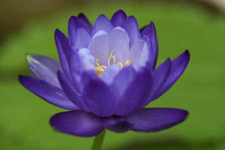 Closeup blooming blue australian giant waterlily or lotus flower closeup blooming blue australian giant waterlily or lotus flower stock photo 76410336 mightylinksfo
