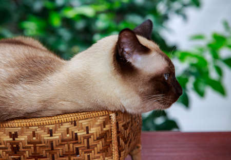 Siamese cat, with grey eyes, resting on a basket.