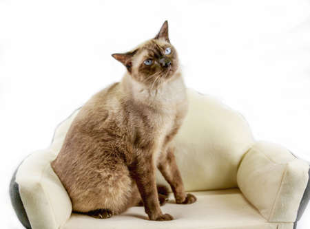 beige: Siamese cat or seal brown cat with grey eyes, resting on bed. Stock Photo