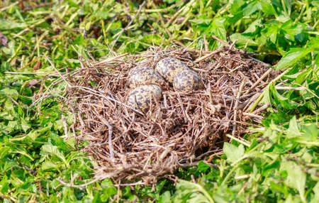Bird's Eggs in the nest, on green grass background. The Red-wattled bird usually lays her egg on the meadow ground. Stock fotó