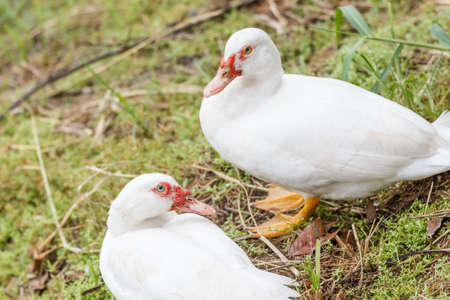 looking for love: Cute love couple white duck standing on grass near a lake, looking for food, blurred background. Stock Photo