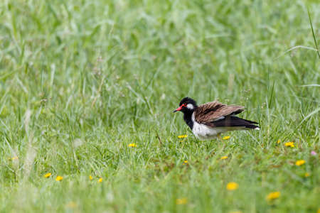Red wattled Lapwing bird, in the garden, blurred background.