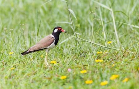 Red wattled Lapwing bird, in the garden, blurred background.