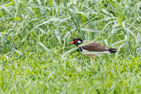he: Red wattled Lapwing bird, in the garden, blurred background.