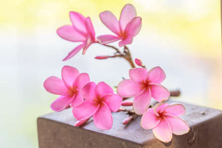 Beautiful sweet pink Plumeria flowers, blooming, concept for background texture.