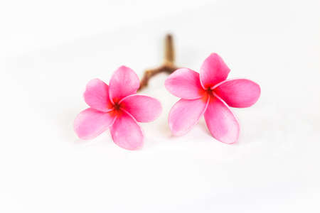 Beautiful sweet pink Plumeria flowers, blooming, isolated on white, concept for background texture.