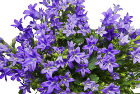 CAMPANULA PORTENSLAGIANA on white background