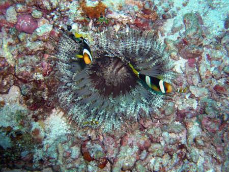rare anemone in red sea