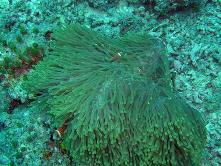 anemone garden in red sea