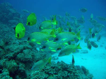 sweetlips: butterflyfish and sweetlips