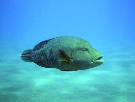 napoleon fish: Napoleon fish in SSH Egypt