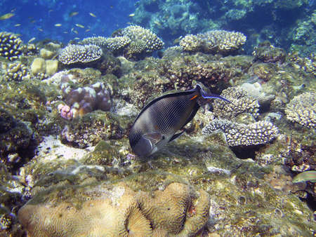 sohal: One big fish in house reef Stock Photo