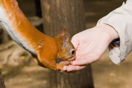 Squirrel eat nut from girl hand photo