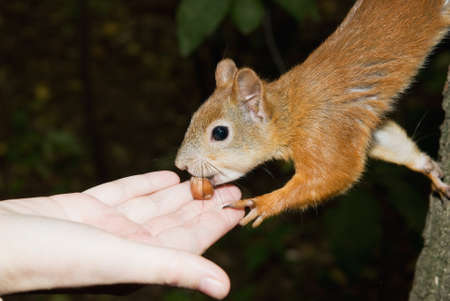 Squirrel takes nut from the palm photo