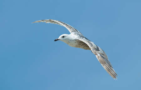 Seagull fly on sky background Stock Photo