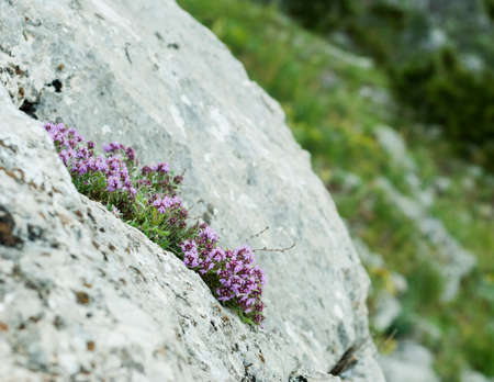 Blooming bush of thyme on  grey stone Stock Photo