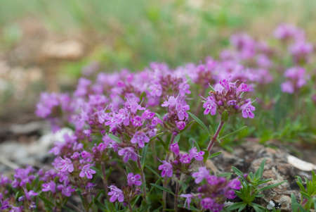 blooming Bush of thyme in mountain Stock Photo