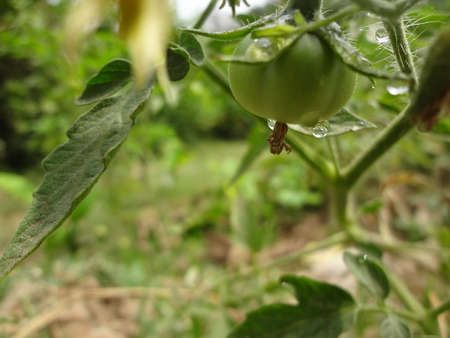 tomate de arbol: Green tomato hanging from tree.