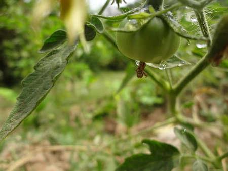 tomate de arbol: tomate verde que cuelga de árbol.