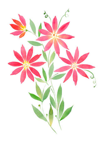 watercolor illustration, curly red flowers clematis. Illustration for printing o