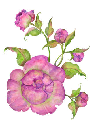 watercolor illustration, bouquet of pink peonies with leaves and buds