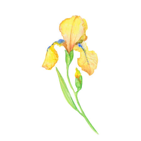 yellow iris, watercolor hand painted illustration , bouquet of flower with leaves