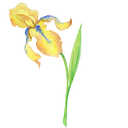 yellow iris, watercolor hand painted illustration a bouquet of flower with leaves Stok Fotoğraf