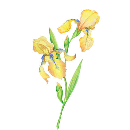 bouquet of yellow irises, watercolor hand painted illustration a bouquet of flowers with leaves Stok Fotoğraf