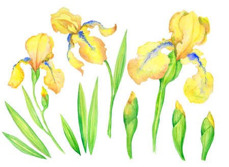 set of yellow irises, flowers, buds, leaves. Watercolor illustration of hand painting  for your design.