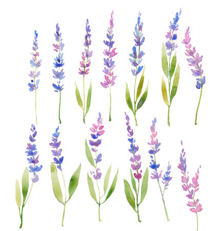Watercolor lavender set floral provencal style design . Hand drawn field flowers  isolated on white background. Floral design