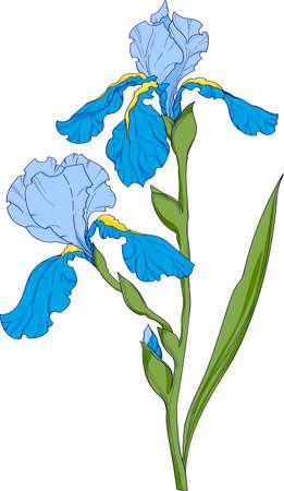 blue iris, flower branch with buds ink art, floral botanical vector illustration. hand drawn irises illustration element on white background.