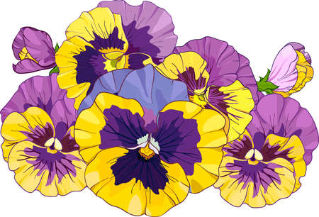 flower arrangement of pansies isolated on a white background. bouquets viola, yellow and purple flowers green leaves. Vector illustration