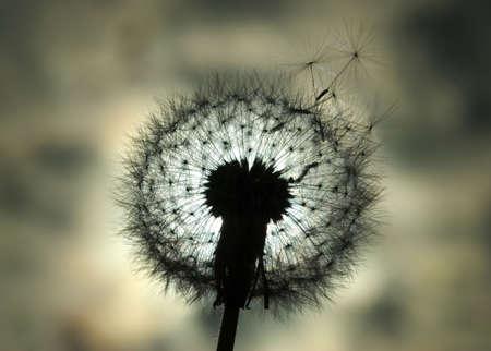 Dandelion back lit by sun 版權商用圖片