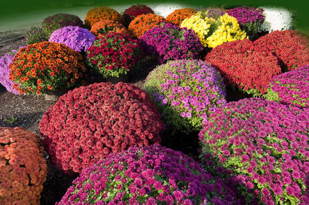 Closeup of multi colored chrysanthemums flowers at a Vermont farm stand photo