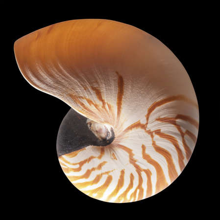 chambered: Nautilus shell exterior on black, isolated