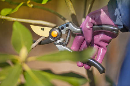 trimmers: pruning shrubs with sharp pruners