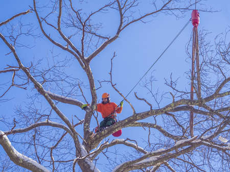 trees services: Tree pruning by a lumberjack Stock Photo