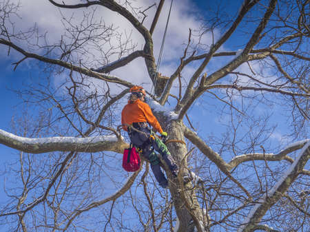 woodcutter: Tree pruning by a lumberjack Stock Photo