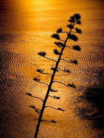 aloe flower: Aloe flower back lit by ocean sunset Stock Photo